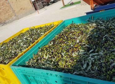 racccolta olive